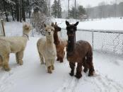 4 alpaca's