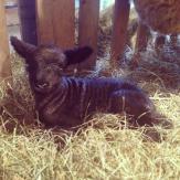 lambs2014.7