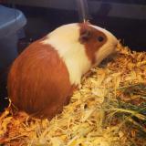 stella guinea pig