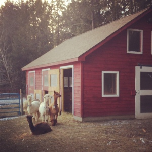 Alpaca's at barn